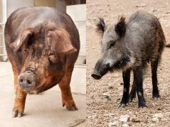 Duroc pig and wild boar
