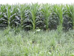 Switchgrass growing with corn