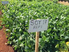 soybean test plot in Africa