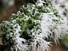 Kale with frost
