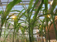 corn plants in a greenhouse