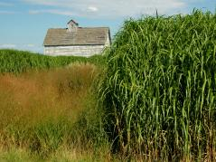 Switchgrass and Miscanthus