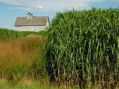 Miscanthus and switchgrass