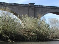 Invasive species near river bank