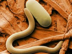 soybean cyst nematode