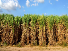 Oil cane field