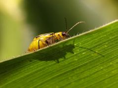 Western corn rootworm adult