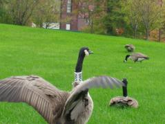 Canada geese in Chicago
