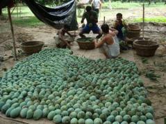 mango sorting in Bangladesh