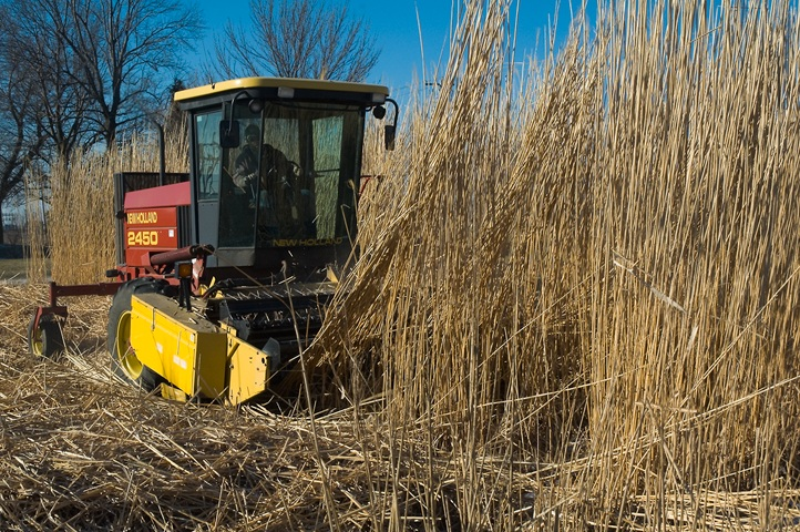 Miscanthus harvested