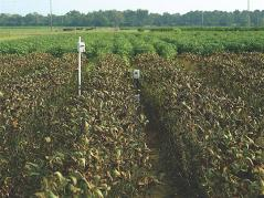 soybean rust infected field