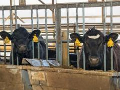 Angus cattle feeding