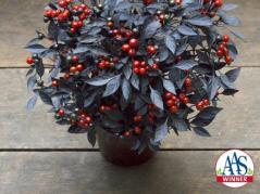 AAS winner, ornamental pepper onyx red