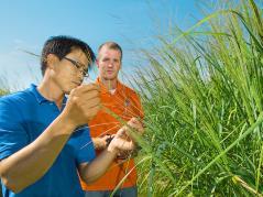 D.K. Lee examines switchgrass