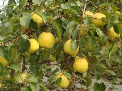Asiatic pear