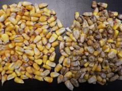 Diplodia damaged kernels