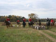 Foxhounds hunting