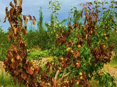 pear tree with fire blight