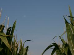 corn, sky, moon