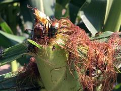 Japanese beetles on corn