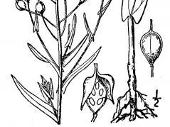 seedpod of Camelina sativa plant