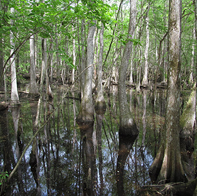 Biedler Swamp, South Carolina in the spring (Ralph Tiner)
