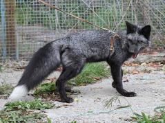 Tame fox on leash