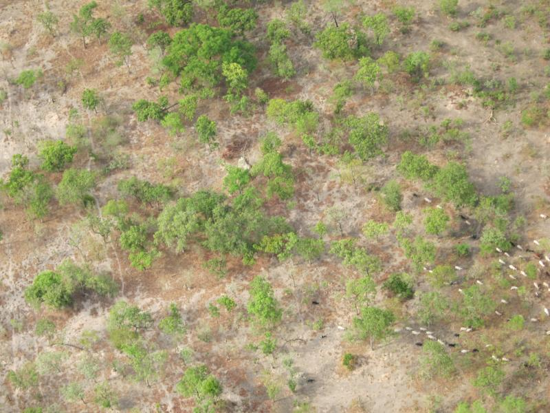 aerial of cattle grazing