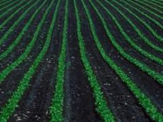 Crop rows in black soil