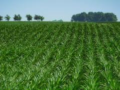 Green field of row crops