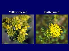 yellow rocket and butterweed