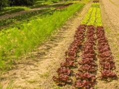rows of organically grown crops
